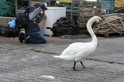 Kinsale Swan