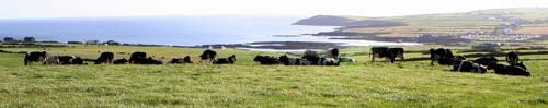 Cork Cows